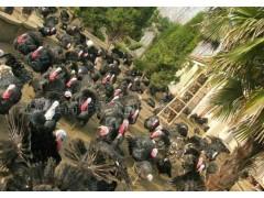 大量出售和回收,火鸡苗,火鸡种鸡,火鸡活禽,火鸡白条